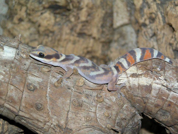Northern Velvet Gecko