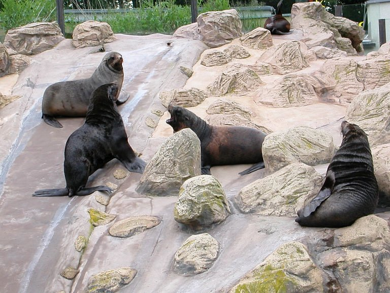 Arctocephalus pusillus - South African Fur Seal