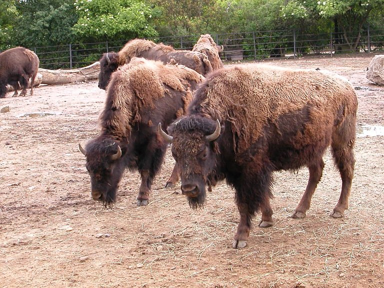 Bison bison bison - Plains Bison