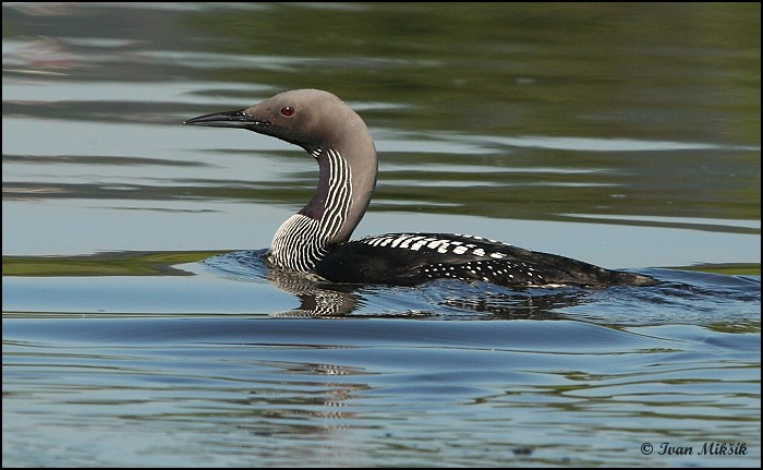 Gavia arctica - Black-throated Diver