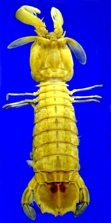 Squilla mantis - Mantis Shrimp