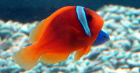 Amphiprion frenatus - Blackback Anemonefish
