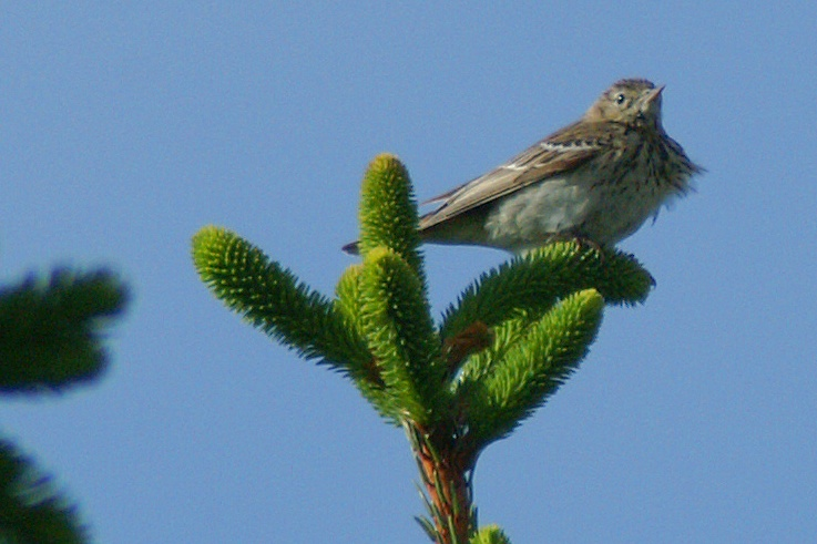 Anthus trivialis - Tree Pipit