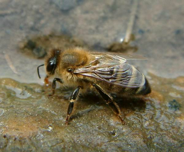 Apis mellifera mellifera - German Honey Bee