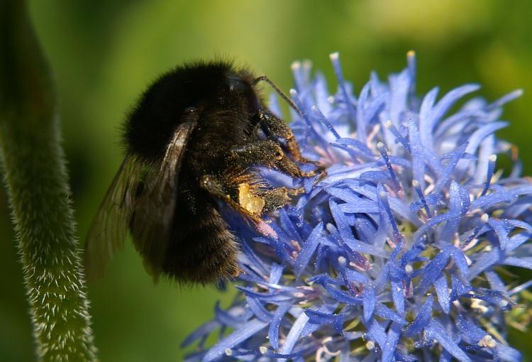 Image - Bombus Humilis (Brown-banded Carder Bee)