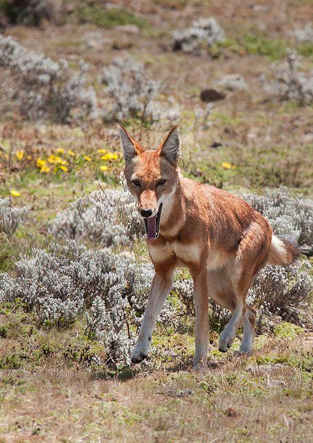 Canis simensis citernii - vlček etiopský