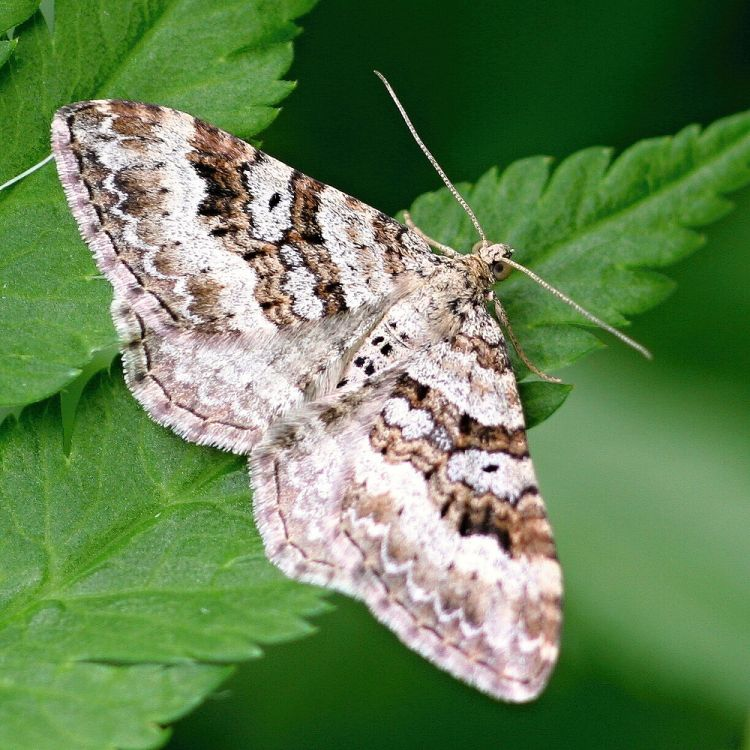 Xanthorhoe montanata - Silver-ground Carpet