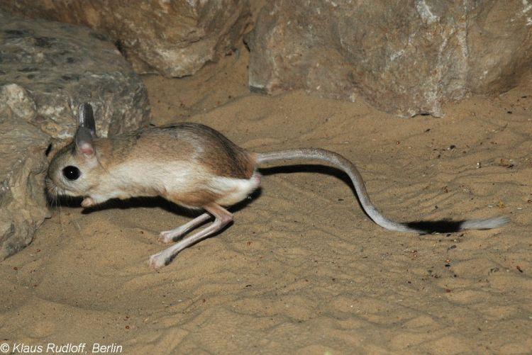Greater Egyptian Jerboa Gif Check the ears and the pointed