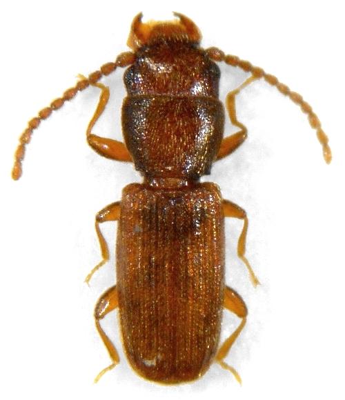 Image Cryptolestes Ferrugineus Rusty Grain Beetle
