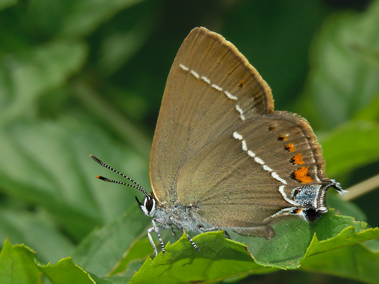 Satyrium spini - Blue-spot Hairstreak