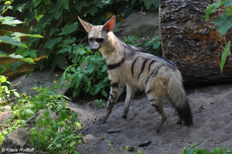 Proteles cristata septentrionalis - East African Aardwolf