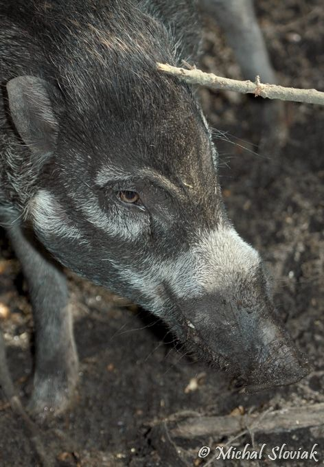 Sus cebifrons negrinus - Negros Warty Pig