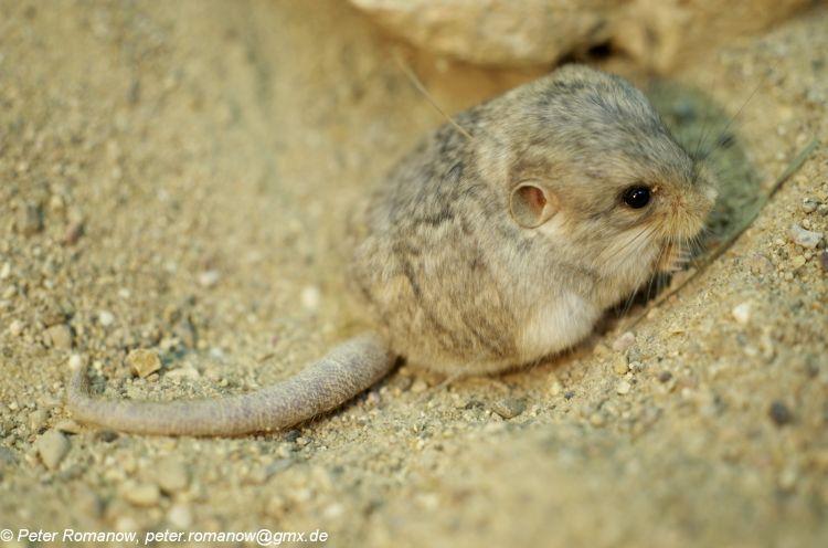 Image - Cardiocranius paradoxus (Five-toed Pygmy Jerboa ... - photo#8