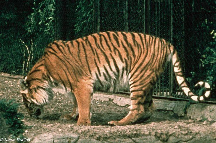 TIGRE - panthera tigris - Page 5 174858