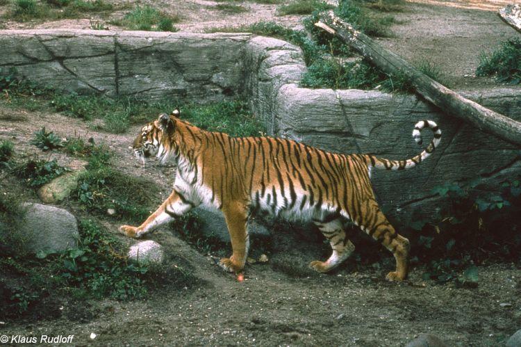 TIGRE - panthera tigris - Page 5 174859