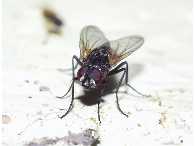 Musca domestica - House Fly
