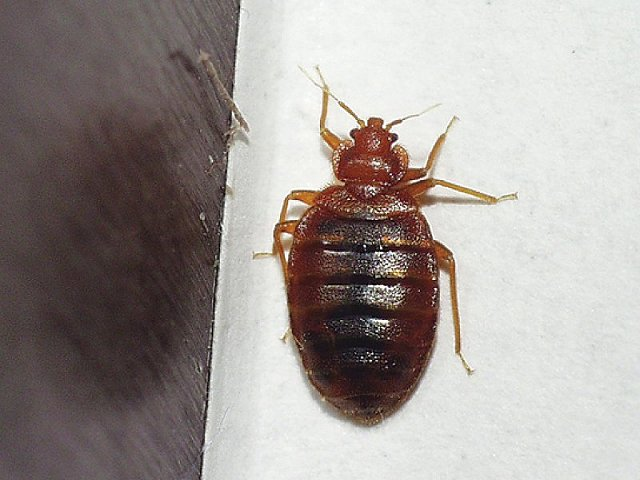 Cimex lectularius - Bed Bug