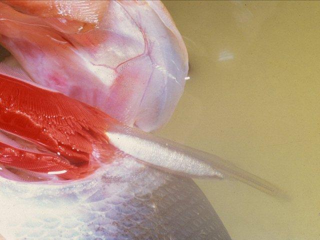 Pesce che risale la pipi