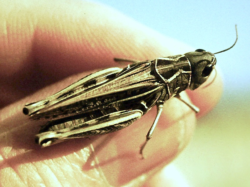 kobylka hammadiho uhlíka datovania