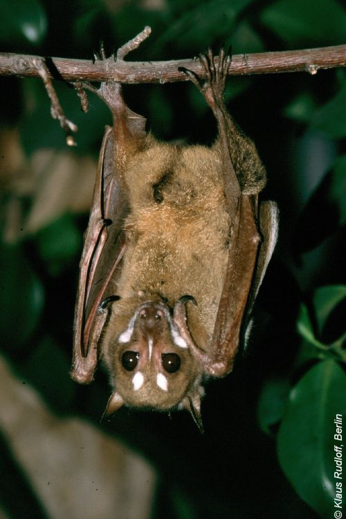 Image Styloctenium Wallacei Stripe Faced Fruit Bat