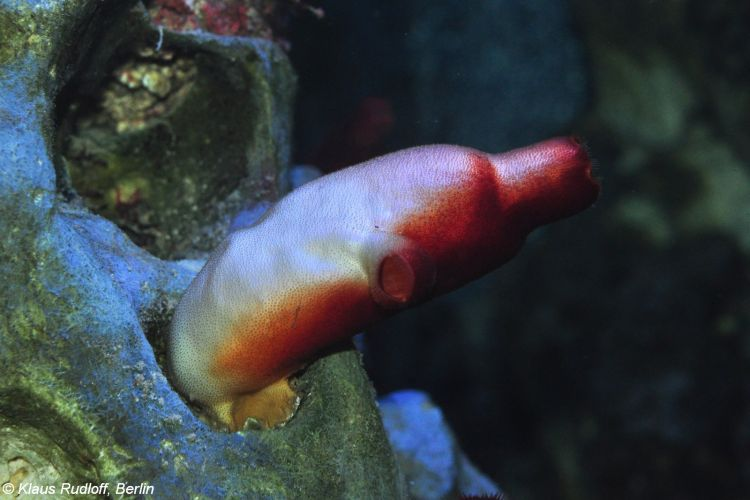 Red sea squirt