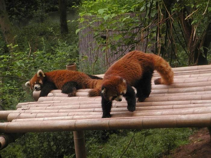 Ailurus fulgens - panda červená