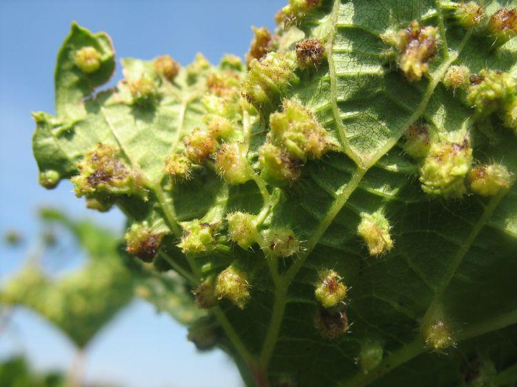 Viteus vitifoliae - mšička révokaz