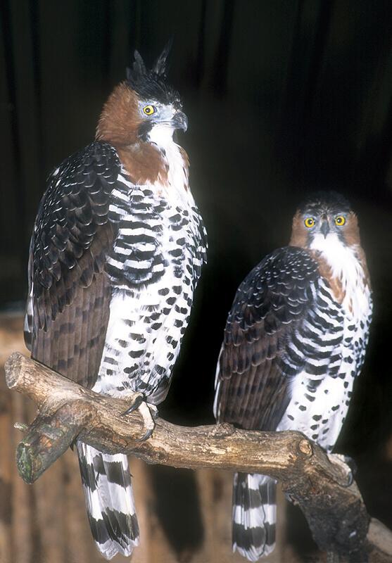 Falconiformes. Família  Acciptridae - Subfamília Buteonidade- Gaviões de penacho. genêro SPIZAETUS 180430