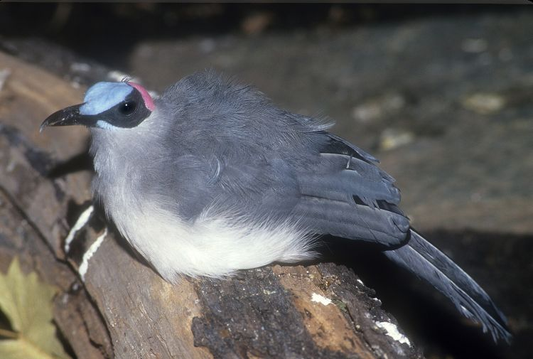 Picathartes oreas - Grey-necked Rockfowl