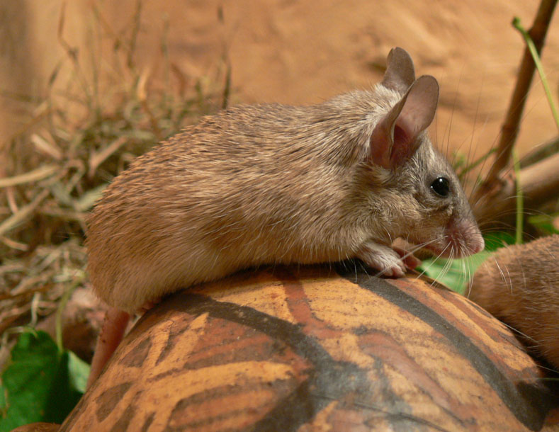 Acomys cahirinus - North East African Spiny Mouse