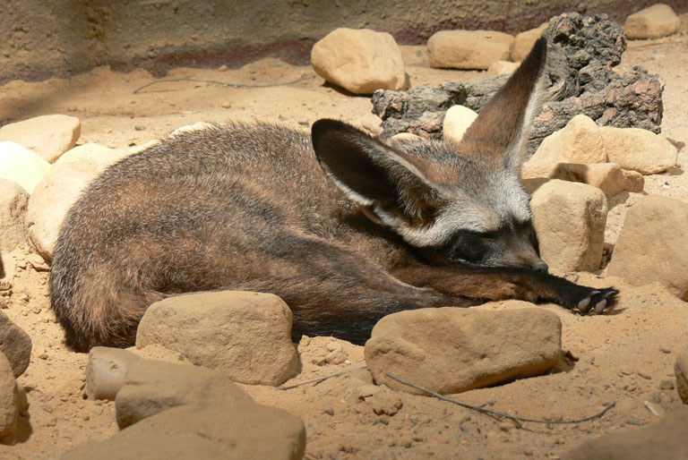 Otocyon megalotis - Bat-eared Fox