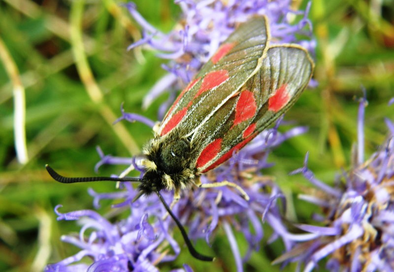 Zygaena exulans - Scotch Burnet