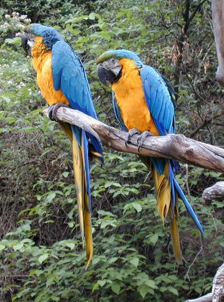 Ara ararauna - Blue-and-yellow Macaw