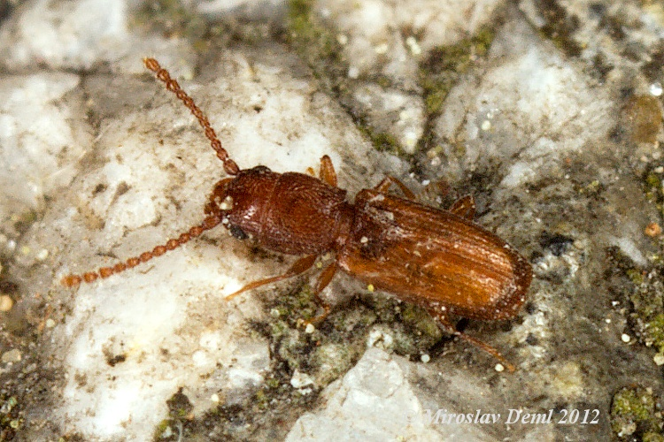Cryptolestes ferrugineus - Rusty Grain Beetle