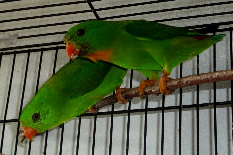 Loriculus pusillus - Yellow-throated Hanging-parrot