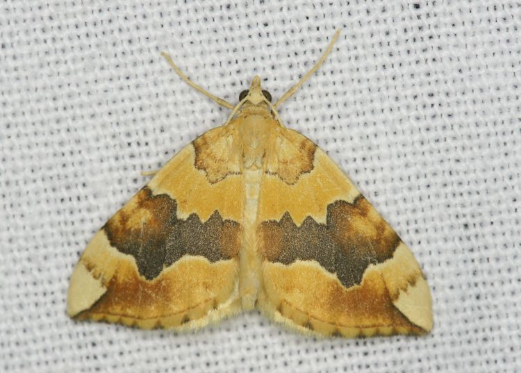 Cidaria fulvata - Barred Yellow