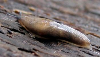 Deroceras laeve - Meadow Slug
