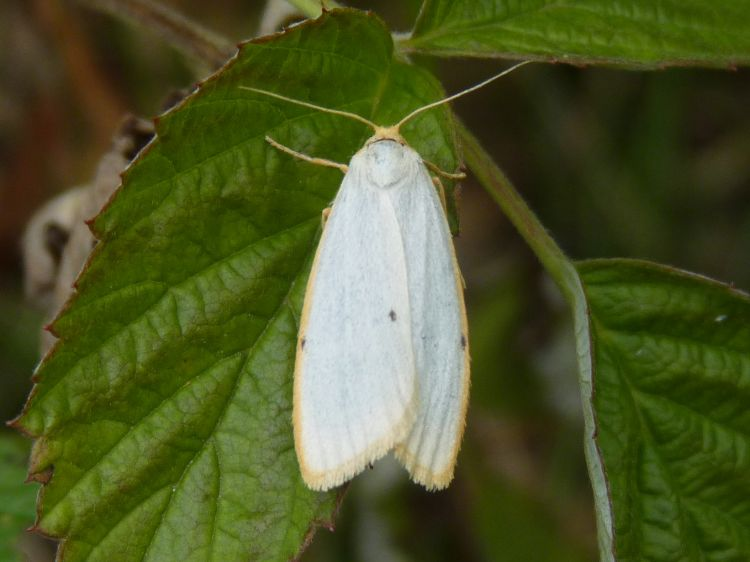 Cybosia mesomella - Four-dotted Footman