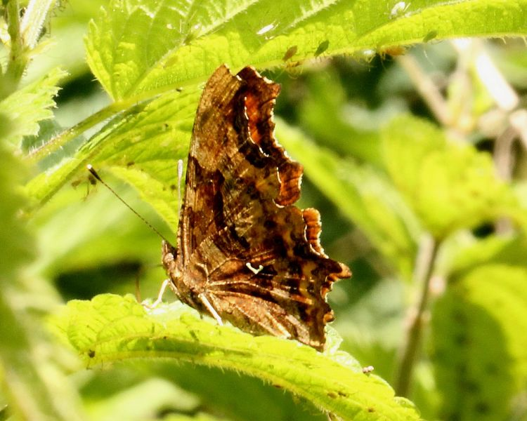 Polygonia c-album - Comma