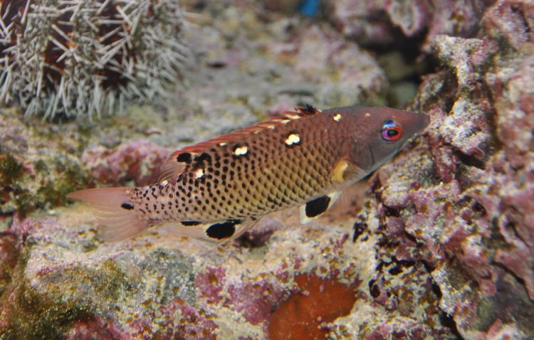 Bodianus diana - Indian Diana's Hogfish