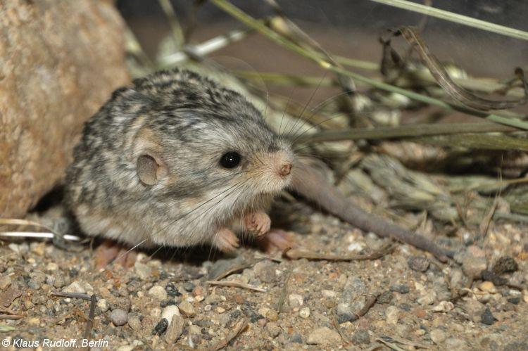 Image - Cardiocranius paradoxus (Five-toed Pygmy Jerboa ... - photo#4
