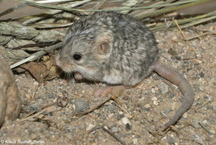 Image - Cardiocranius paradoxus (Five-toed Pygmy Jerboa ... - photo#9