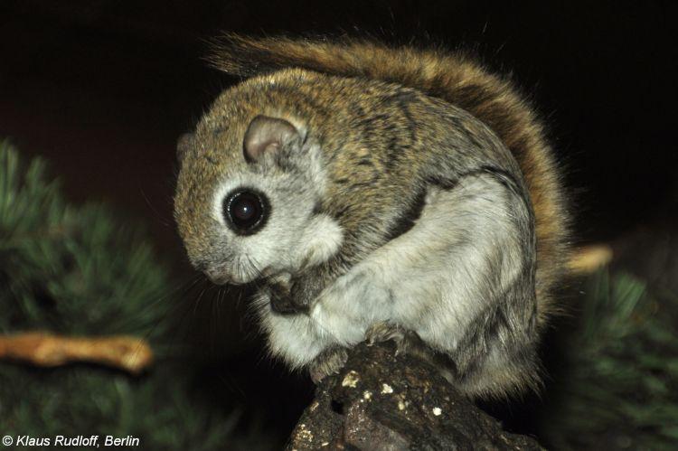 Image Pteromys Volans Siberian Flying Squirrel Biolib Cz