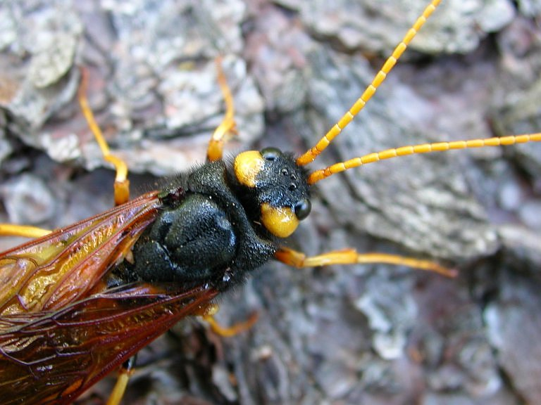 Urocerus gigas gigas - Giant Woodwasp