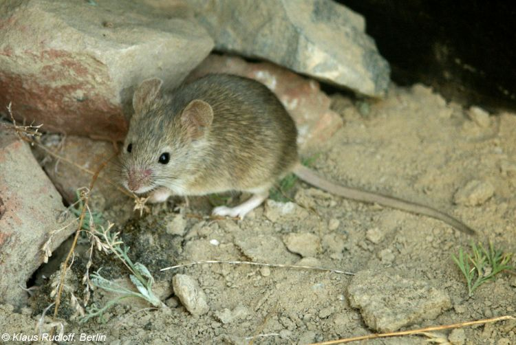 Image Mus Musculus Eastern House Mouse Biolib Cz