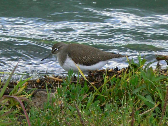 Actitis hypoleucos - Common Sandpiper