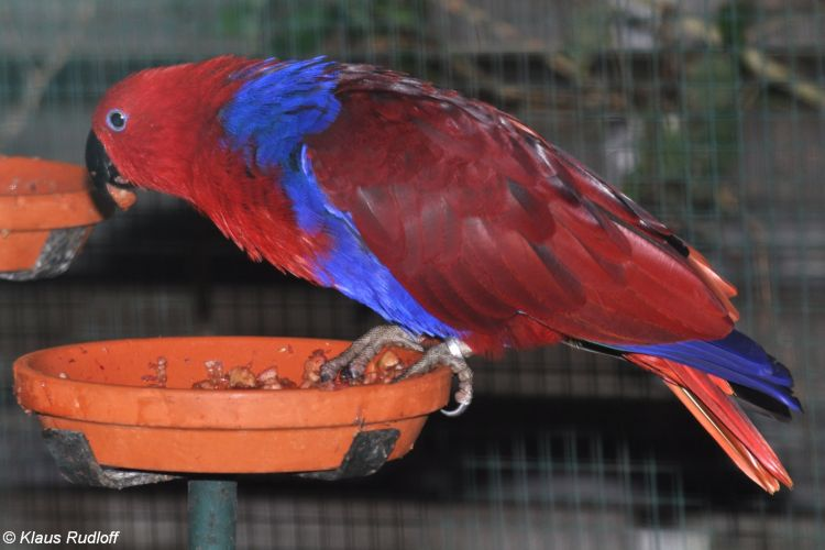 Eclectus roratus polychloros - Red-sided Eclectus Parrot