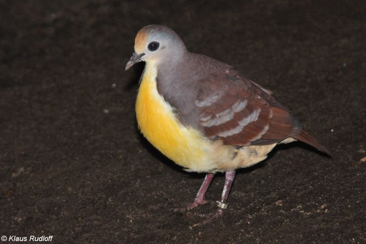 Gallicolumba rufigula - Cinnamon Ground-dove