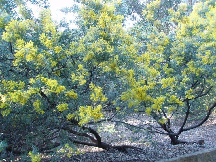 Bailey Acacia Information: How To Grow Bailey Acacia Trees