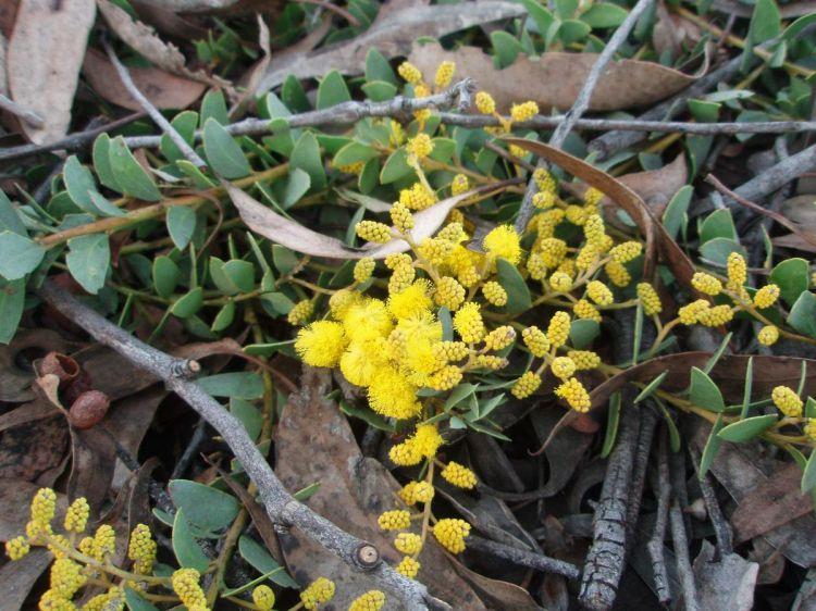 Obrázek Acacia Cultriformis Cascade Akácie Trojboká Biolibcz